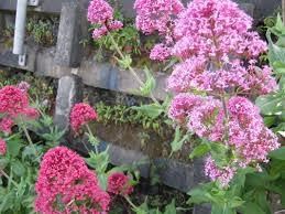 invasive plants the trees u0026 flowers of whangarei