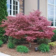 bloodgood japanese maple garden outdoor