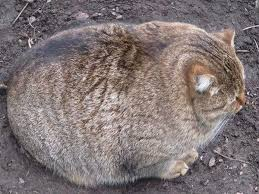 Fat Cat Heavy Breathing Meme - 19 pictures of fat cats that will improve your day