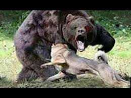Youtube Backyard Fights 7 Best Animal Fights Images On Pinterest Lion Bear And Crocodile