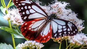 imagenes hermosas y unicas mariposas únicas y hermosas youtube