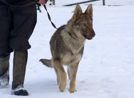 belgian sheepdog uk dogs who have found a home dog rehoming northumbria police