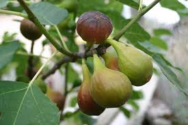 fig trees for small backyards or container gardens