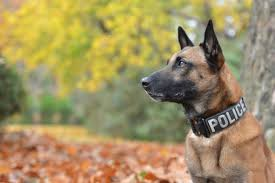 belgian shepherd vs doberman 7 fun facts about the belgian malinois american kennel club