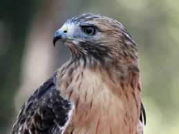 file red tailed hawk rwd1 jpg wikimedia commons
