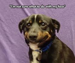 Dog Smiling Meme - not really sure what to do animal dog and humor