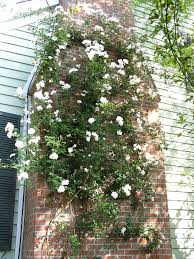 Rose Bush Trellis I Have Read Many Threads About Using Fishing Line For Growing