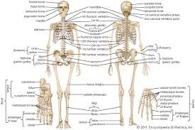 Kinds Of Wood Joints And Their Uses by Human Skeletal System Anatomy Britannica Com