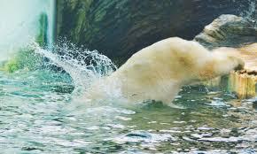 free images nature animal jump mammal fauna polar bear