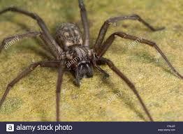 european house giant european house spider cobweb spider female