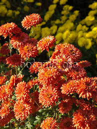 Chrysanthemum Images Chrysanthemums Images And Videos Of Plants And Gardens