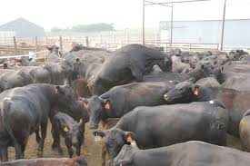 manage cattle for success with ai and estrus synchronization