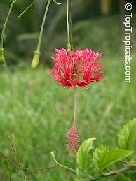 japanese lantern plant hibiscus schizopetalus coral hibiscus skeleton hibiscus