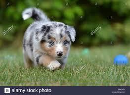 6 week australian shepherd australian shepherd puppy 5 weeks old walking on a lawn germany