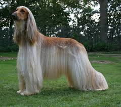 afghan hound walking afghan hound appearance fur playing barking body youtube