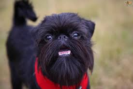 affenpinscher good bad griffon bruxellois dog breed information buying advice photos