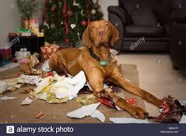 christmas scene of hungarian vizsla dog sitting amongst shredded