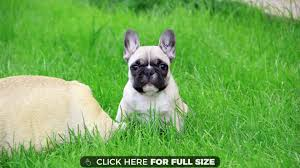 french bulldog puppy 4k wallpaper