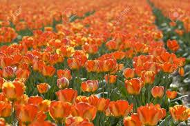 Tulip Field Orange Tulips In Abundance In Tulip Field In Holland Stock Photo