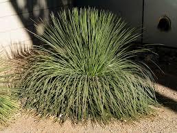 agave geminiflora jpg