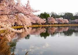 washington d c national cherry blossom festival blooms