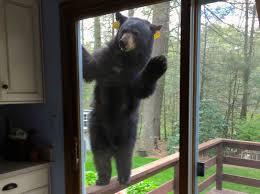 through the glass dog doors bear seeking brownies bangs on glass door terrifies homeowner
