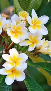 plants native to hawaii plumeria is a genus of flowering plants in the dogbane family