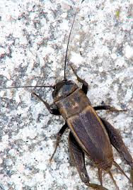 how to get rid of crickets treat for crickets terro com