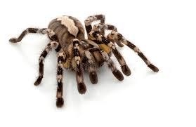 indian ornamental tarantula royalty free stock images image 7936869