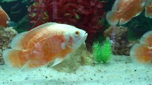 Buy Ornamental Fish Aquarium Fish Neyyar Dam Kerala
