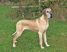 Blind Great Dane Great Dane Wikipedia