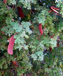 native plants in texas plant of the month texas ebony water use it wisely