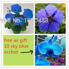 blue orchids for sale hot sale 20 pcs bag sky blue geranium seeds 100 sky blue
