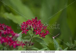 pentas flower pentas flower stock images royalty free images vectors