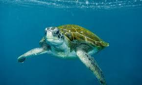 imagenes tortugas verdes la tortuga verde acechada por las hélices de los barcos en canarias
