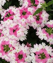 verbena flower verbena pink verbenas at burpee