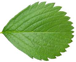 plant tree leaf stock cut out by enchantedgal stock deviantart com