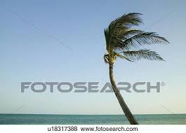 pictures of palm tree blowing in the wind in the florida