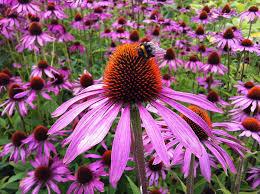 echinacea flower free photo echinacea flower coneflower free image on pixabay
