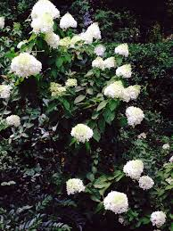 hydrangeas 10 best flowering shrubs to grow gardenista