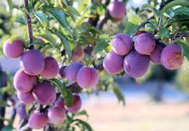 plums facts and health benefits