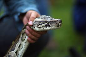 this 14 foot python was caught with 3 deer in its gut that u0027s a
