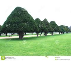 cone trees royalty free stock image image 4880926