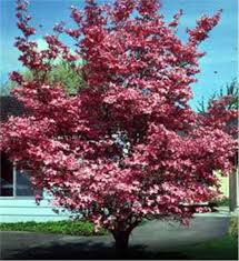 buy affordable dogwood trees at our nursery