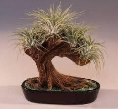 bonsai plants for salebonsai trees for sale gardening