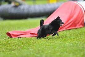belgian shepherd how to train schipperke dog breed information pictures characteristics