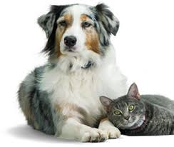australian shepherd and cats what vaccines do cats and kittens need and how often u2013 banfield