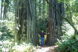 wide tree picture of redwood national park redwood national
