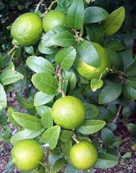 lime tree fruit bearing size branched 8