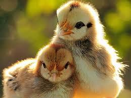 cerco animali da cortile emporio della natura emporio della natura